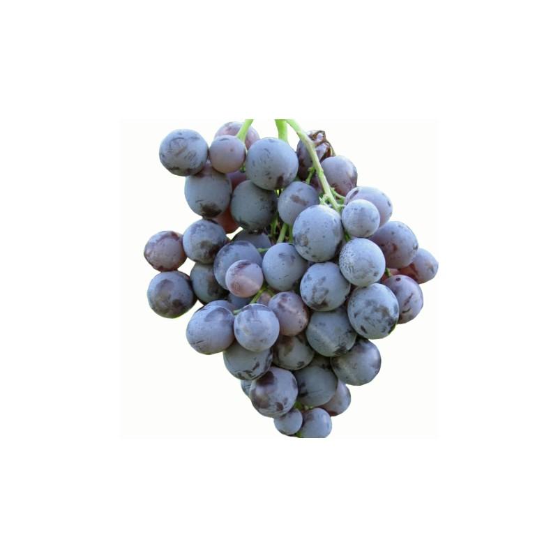 Uva Moscato D'Amburgo
