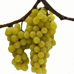 Uva Moscato Giallo
