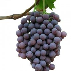 Uva Moscato D'Adda