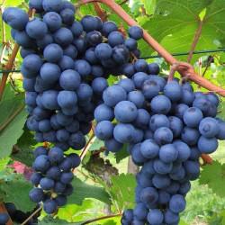 Uva Moscat Blue