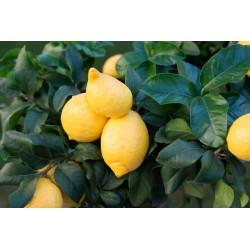 Limone Cappuccio