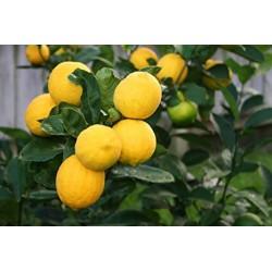 Limone Carrubaro