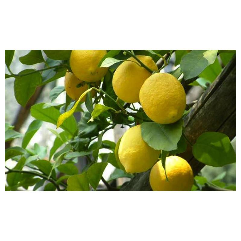 Limone Femminello Siracusano