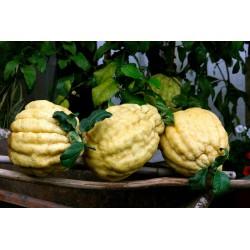 Limone Pane
