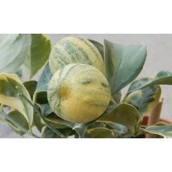 Limone Variegato