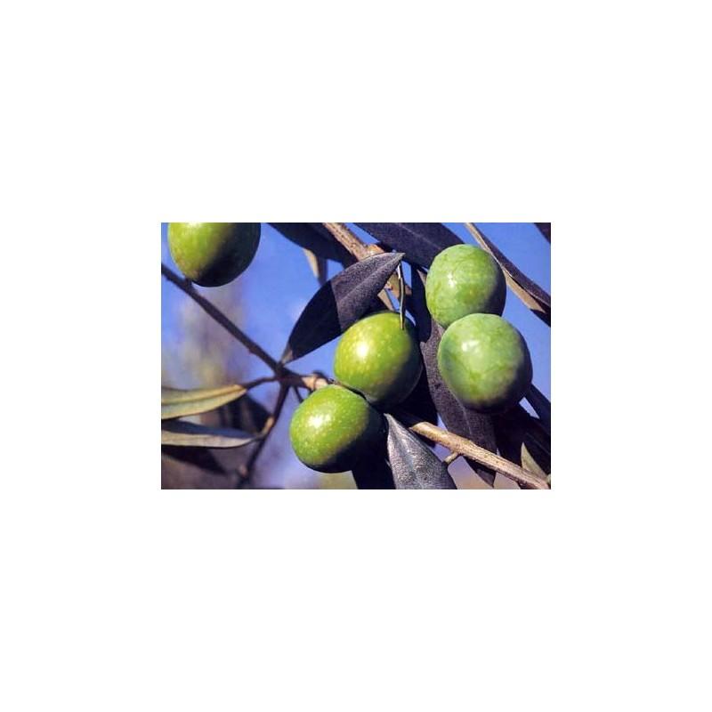 OLIVO NOCELLARA DEL BELICE 4/5 ANNI