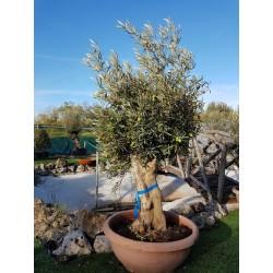 Olivo Bonsai (Tarrina)