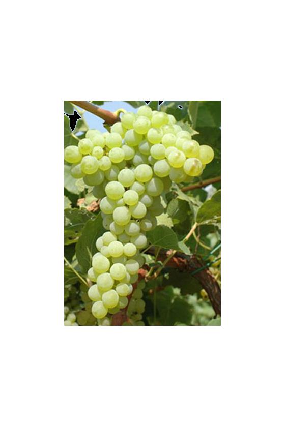 Uva Citrina ( Moscato senza semi )