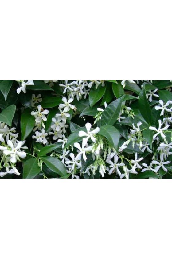 Gelsomino H. 1,80 ( Rhyncospermum )