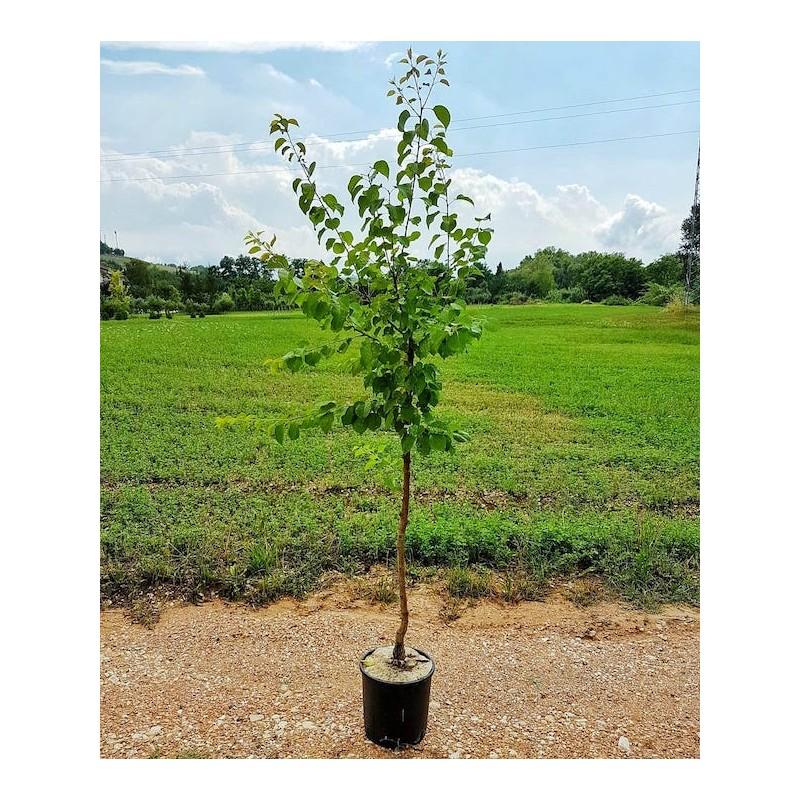 pianta albicocco alba