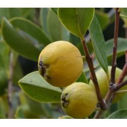 Guava Gialla (Guayaba)