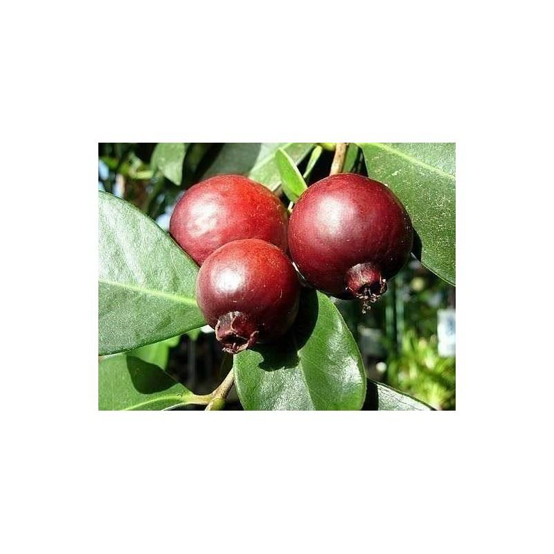 Guava Rosso (Guayaba)