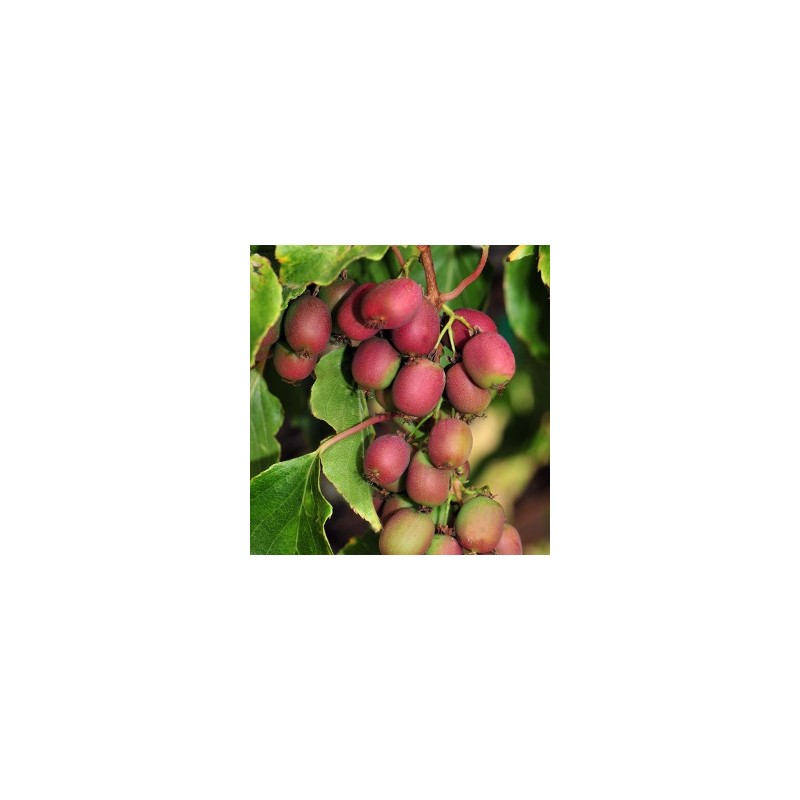 Kiwi Arguta Ananasnaya