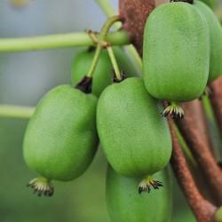 Kiwi Arguta Vitikiwi